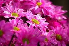 Gänseblümchen Stockfoto