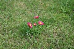 Gänseblümchen Stockfotos