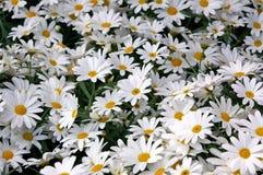 Gänseblümchen 69 Lizenzfreie Stockbilder