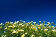 Gänseblümchen auf blauem Himmel Stockfoto