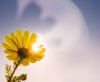 Gänseblümchen auf blauem Himmel Stockbild