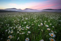 Gänseblümchen auf dem Gebiet nahe den Bergen Stockfoto