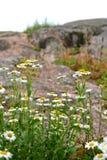 Gänseblümchen auf den Felsen Stockfoto
