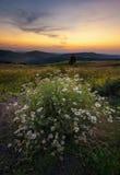 Gänseblümchen auf einem Feld bei Sonnenuntergang Stockbilder