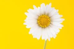Gänseblümchen auf einem hellen gelben Hintergrund Stockbild