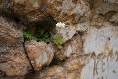Gänseblümchen auf einer zerstörten Wand Stockfotografie