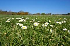 Gänseblümchen auf Gras und blauem Himmel Lizenzfreie Stockbilder