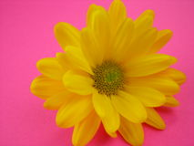 Gänseblümchen auf Rosa Stockfotos