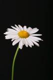 Gänseblümchen auf Schwarzem Stockfotografie