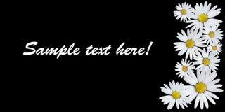Gänseblümchen auf schwarzem Hintergrund Lizenzfreie Stockfotos