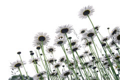 Gänseblümchen auf Weiß lizenzfreie stockfotos