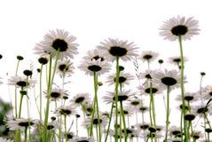 Gänseblümchen auf Weiß lizenzfreies stockbild