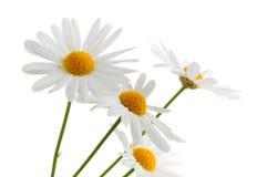 Gänseblümchen auf weißem Hintergrund lizenzfreie stockbilder