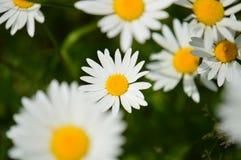 Gänseblümchen auf Wiese Stockfotografie