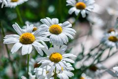 Gänseblümchen blühen auf dem Gebiet lizenzfreie stockbilder