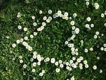 Gänseblümchen blüht Herzform auf Gras stockfotos