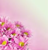 Gänseblümchen blüht Hintergrund Stockfoto