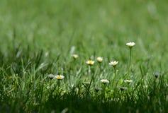 Gänseblümchen blüht im Frühjahr Stockfoto