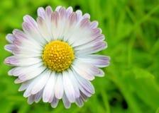 Gänseblümchen-Blume Stockbilder