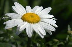 Gänseblümchen-Blume Lizenzfreie Stockfotos