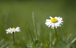 Gänseblümchen-Blume Stockfotos