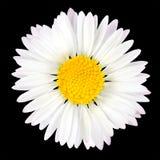Gänseblümchen-Blume getrennt auf schwarzem Hintergrund Lizenzfreie Stockfotografie