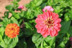 Gänseblümchen-Blumen Stockfoto