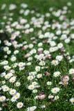 Gänseblümchen-Blumen auf dem Gebiet Lizenzfreie Stockbilder