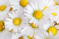 Gänseblümchen-Blumen mit Dewdrops Stockfoto
