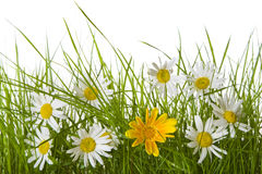 Gänseblümchen-Blumen unter Gras stockfoto