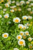 Gänseblümchen in den Blumen Stockfoto