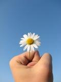 Gänseblümchen in der männlichen Hand Lizenzfreie Stockfotos