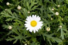 Gänseblümchen in der Natur Lizenzfreies Stockbild