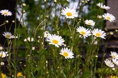 Gänseblümchen in der Natur Stockfotos