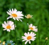Gänseblümchen in der Natur. Lizenzfreie Stockfotos
