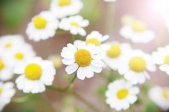 Gänseblümchen in der Sonne Lizenzfreie Stockfotografie