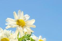 Gänseblümchen in der Sonne Lizenzfreie Stockfotos