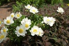 Gänseblümchen in der Tageszeit Stockbild