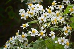 Gänseblümchen des Waldes Lizenzfreies Stockbild