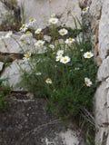 Gänseblümchen, die im Stein im Tempel von Apollo Didima wachsen Lizenzfreie Stockfotos