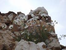 Gänseblümchen, die im Stein im Tempel von Apollo Didima wachsen Lizenzfreies Stockbild