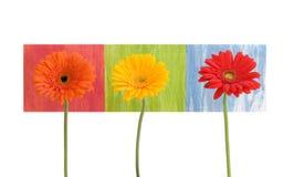 Gänseblümchen - drei - auf farbigen Quadraten Stockfoto
