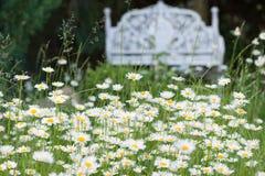 Gänseblümchen in einem Garten Stockfotografie