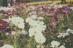 Gänseblümchen in einem Garten Lizenzfreies Stockbild
