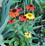 Gänseblümchen in einem Garten Lizenzfreie Stockfotos