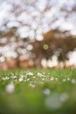Gänseblümchen in einem Park Lizenzfreies Stockfoto