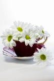 Gänseblümchen in einer magentaroten Porzellanteetasse Lizenzfreies Stockfoto