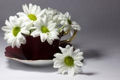 Gänseblümchen in einer magentaroten Porzellanteetasse Stockbilder