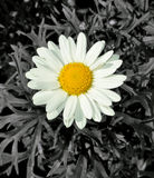 Gänseblümchen-Farben-Knall Stockbilder