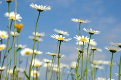 Gänseblümchen flowerson Himmelhintergrund Stockfotografie